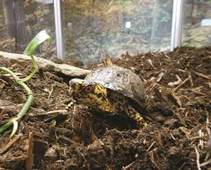 Getting to Know Eastern Box Turtles