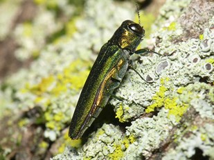 Emerald Ash Borer Invasion