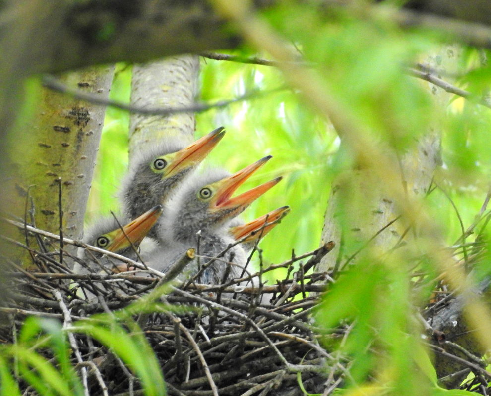 Wildlife • Baby green herons in nest • photo by Jen Beck