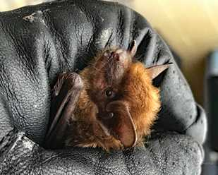 Caring for Big Brown Bats in the Winter