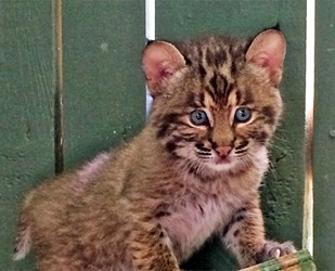 Wildlife spotlight: Bobcat update