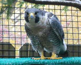 Getting to Know Peregrine Falcons