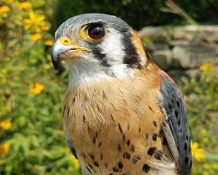 Getting to Know American Kestrels