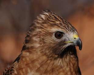Getting to Know Red Shouldered Hawks