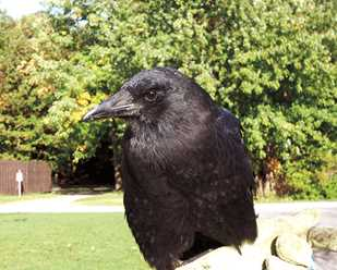 Getting to Know American Crows