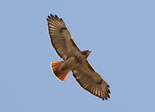 Hawk Migration in Northeast Ohio
