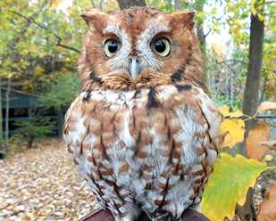 Getting to Know Eastern Screech Owls