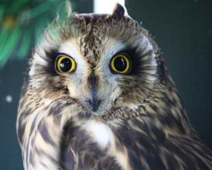 Getting to Know Short-eared Owls