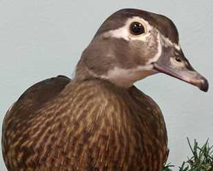 Getting to Know Wood Ducks