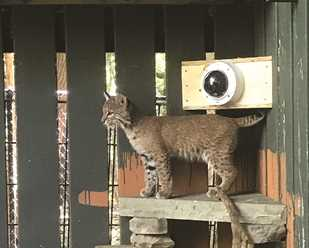 Another Bobcat at Wildlife Center