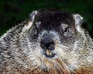 Getting to Know Groundhogs