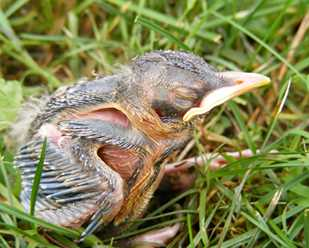 How Do I Know if a Baby Bird Needs My Help?