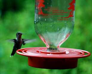 Annual Hummingbird Sighting Contest