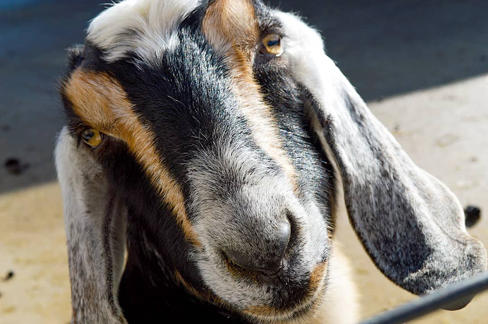 Farmpark - goat - Peanut - Lake Metroparks - photo by Courtney Kempert