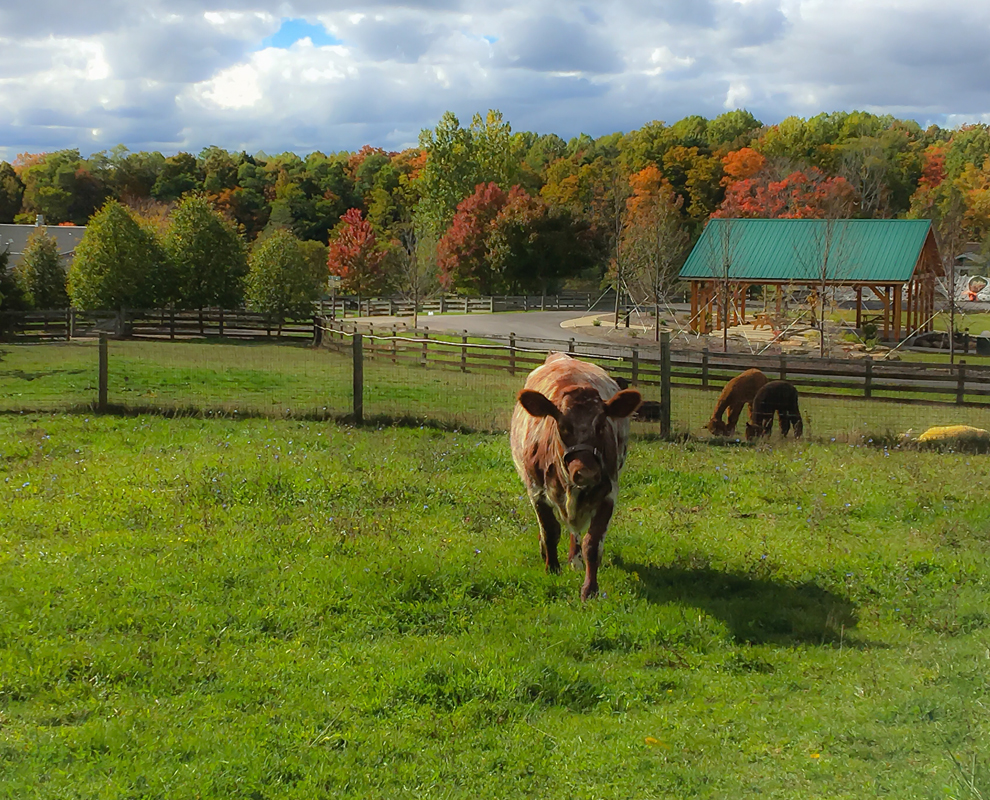 Farmpark - fall colors field - cow - Lake Metroparks - photo by Linda Lowe