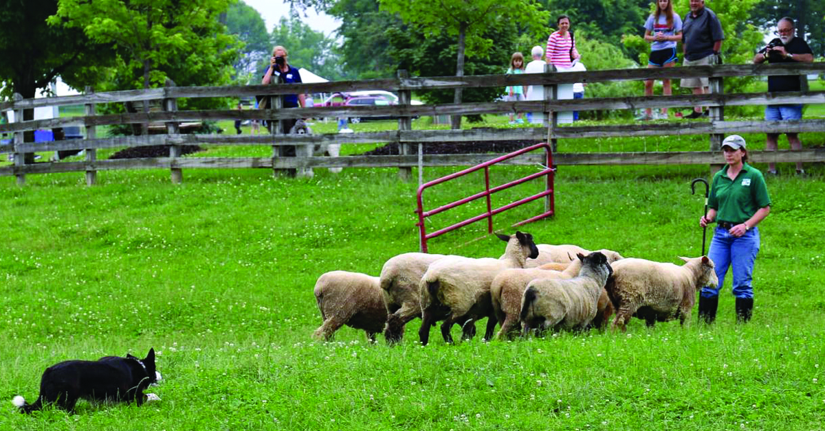 Farmpark - border collie demonstration - sheep - trees - fence - visitors - Lake Metroparks - photo by Earl Linaburg
