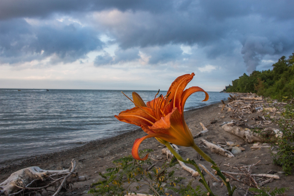 Lake Erie Bluffs - park - beach - Lake Erie - flower - Lake Metroparks - photo by Kevin Vail