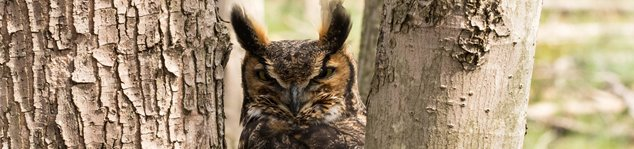 Great Horned Owl at Gully Brook Park by Earl Linaburg