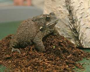 Getting to Know American Toads