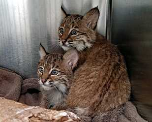 Two New Bobcats at Wildlife Center